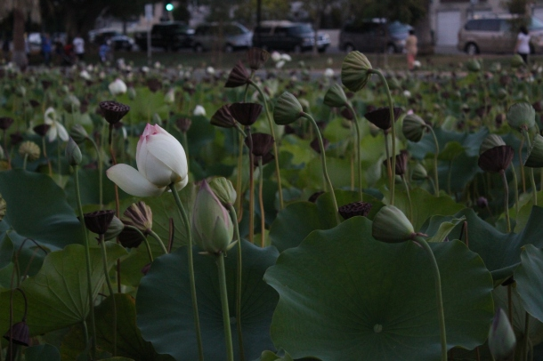 Lotuses at the newly renovated Echo Park Lake | Daina Beth Solomon