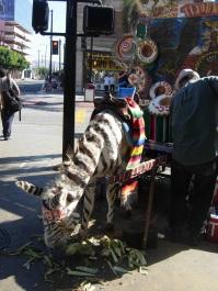 a zonkey on Avenida Revolucion